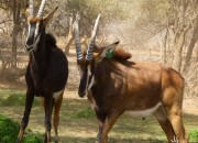 Young Sable Bulls for sale