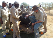 Re a Lora Game Breeders Checking microchip of Buffalo Cow