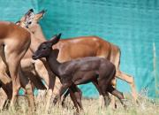 Re a Lora Game Breeders Black Impala Ewe