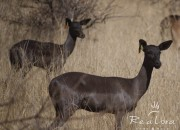 Re a Lora Game Breeders Black Impala Ewe, Limpopo South Africa