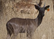 Re  a Lora Game Breeders Black Impala Ram, Limpopo South Africa