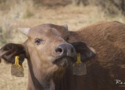 Re a Lora Game Breeders Buffalo Calf, Limpopo South Africa
