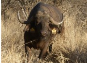 Re a  Lora Game Breeders Buffalo Cow, Limpopo South Africa