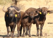 Re a Lora Game Breeders Buffalo Cow and Buffalo Calfs