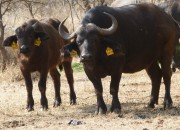 Re a Lora Game Breeders Buffalo cow and Buffalo calf in Limpopo South Africa