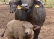 Re A Lora Game Breeding Buffalo Cow and Calf, Limpopo South Africa