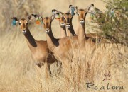 Re a Lora Game Breeders Split Impala Ewe's and Impala Ewe's