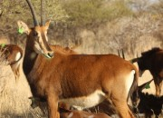 Re a Lora Game Breeders Sable Cow in Limpopo South Africa