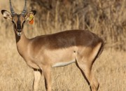Re a Lora Game Breeders Saddleback Impala Ram in Limpopo South Africa