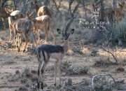 Re A Lora Game Breeders Saddleback Ewe in Limpopo South Africa