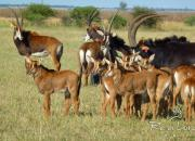 Re a Lora Game Breeders Sable Herd in Limpopo South Africa