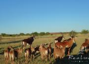 Re a Lora Game Breeders Sable herd
