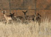 Re a Lora Game Breeders Saddleback Impala Ram and Black Impala Ewes