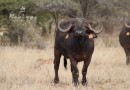 Re a Lora Kruger Buffalo Cow BS 09-21 Estimated Spread 36""