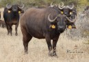 Re a Lora Kruger Buffalo Cow FS 09-3 Estimated Spread 29""
