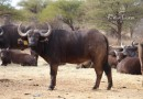 """Re a Lora Kruger Buffalo Heifer RCO 13-8 Estimated Spread 29"""" at 2year 5months"""